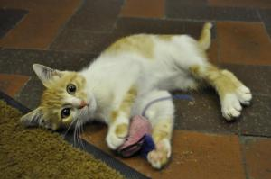 Cairo the stowaway kitten loves to play with her toy mouse